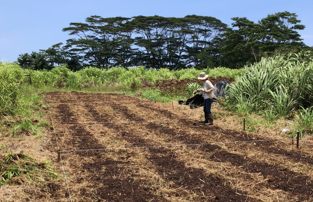 MCC student Joanna Norton planting corn in field, surrounded by tall grasses and tall invasive albizia trees nearby.