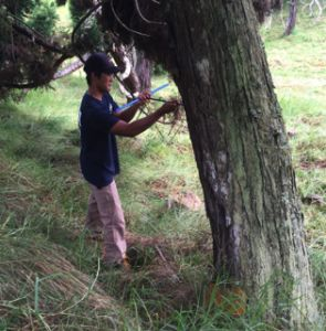 Student takes core of conifer