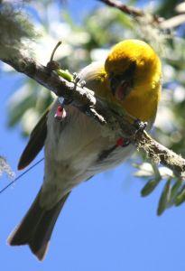 A small yellow-headed bird pokes its beak towards a seed pod grasped against a tree branch.