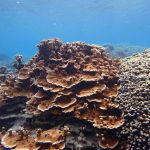 Underwater picture of a large rice coral outcrop