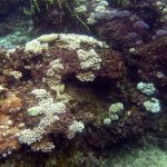 An underwater view shows coral-covered rocks, some brown or purple-y, but many spots of branching, skeletal white coral.