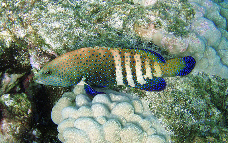 A medium-sized fish with white bands across its back half, vibrant blue spots across its body, and deep blue to black fins.