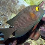A small reef fish, with bright yellow rings around the eyes.