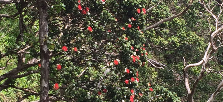 An ʻōhiʻa lehua tree