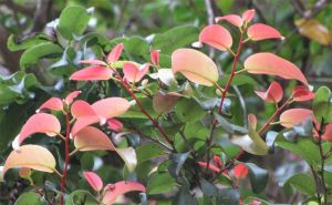Close-up picture of a shrub with green and pinkish leaves.
