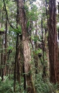 Tall tree trunks in a forest display multiple groupings of plants growing from them.