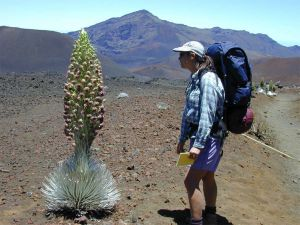 A hiker admires a fully blooming silversword plant against a stark volcanic terrain.
