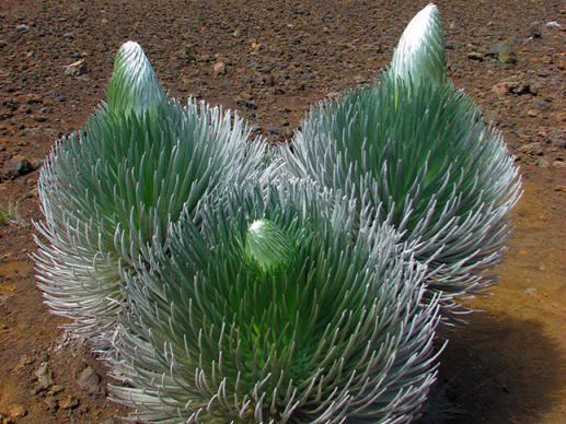A cluster of three barrel-shaped, silvery-green plants