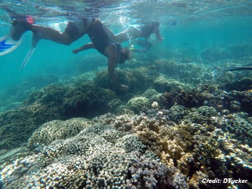 Snorkelers dive to shallow coral reef