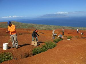 Workers plant green plants across a bare, red-soil landscape.
