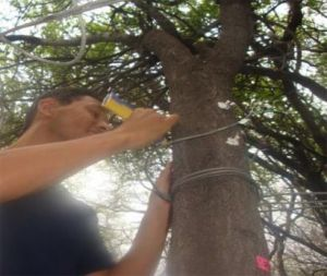 A scientist wires a probe to the trunk of a tree.