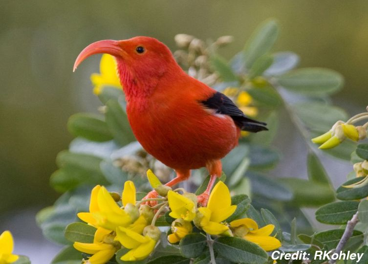 A bright red bird with a long, curved beak sits on a yellow flower