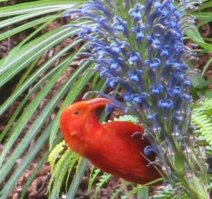 A close-up image of a long-beaked red iʻiwi on a purple-blooming stalk of an ʻopelu.