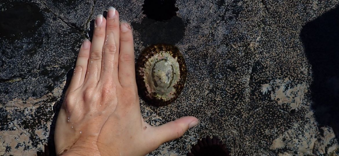 A hand measuring the size of 'opihi on the rocks.