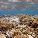 Invasive limu coating a coral reef under shallow seas.