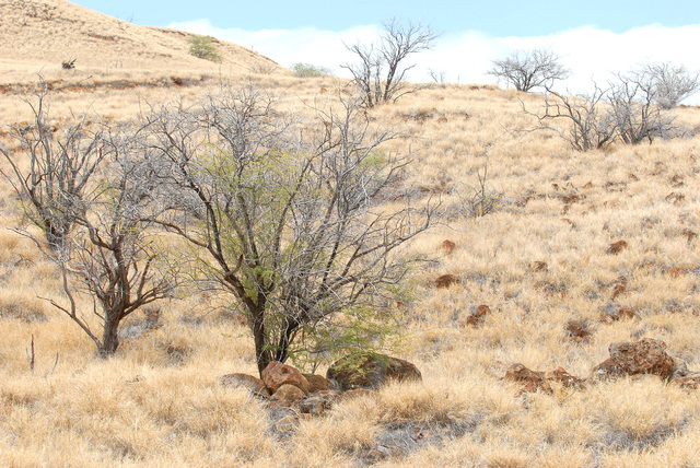 Really dry grassland landscape with dying kiawe tress