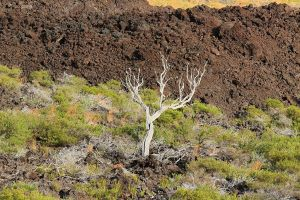 White, denuded tree sits amidst dry scrub before brown aa flow